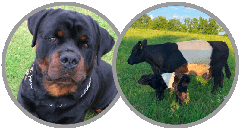 Rottweiler Male and Belted Galloway Heifer